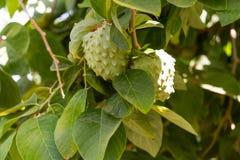 Εγγενές Annona οπωρωφόρο δέντρο cherimola του Ισημερινού. Στοκ φωτογραφία με δικαίωμα ελεύθερης χρήσης