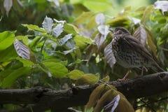 Εγγενές Fantail της Νέας Ζηλανδίας πουλί στοκ φωτογραφίες