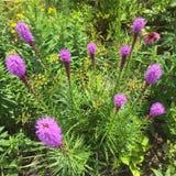 Εγγενές Perennials Liatris Στοκ Εικόνες