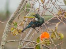 Εγγενής σίτιση πουλιών της Νέας Ζηλανδίας Tui από persimmon την ανάπτυξη στο α στοκ φωτογραφία