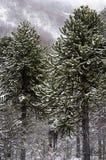 Εγγενή δέντρα Στοκ Φωτογραφίες