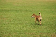 Εγγενή σκυλιά της Ταϊλάνδης στο χορτοτάπητα στοκ φωτογραφία με δικαίωμα ελεύθερης χρήσης