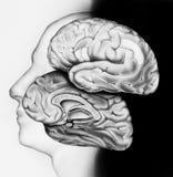 Εγκέφαλος - διατομή στο πλαίσιο Στοκ Φωτογραφία
