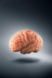Εγκέφαλος που επιπλέει σε ένα γκρίζες υπόβαθρο/μια έννοια σκέψεων Στοκ εικόνες με δικαίωμα ελεύθερης χρήσης