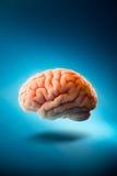 Εγκέφαλος που επιπλέει σε ένα μπλε υπόβαθρο/μια εκλεκτική εστίαση Στοκ φωτογραφία με δικαίωμα ελεύθερης χρήσης