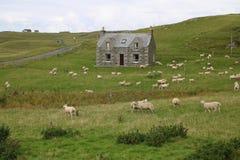 Εγκαταλειμμένο εξοχικό σπίτι και πολλά πρόβατα Στοκ εικόνα με δικαίωμα ελεύθερης χρήσης
