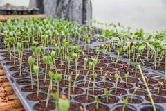 Εγκαταστάσεις δέντρων που αυξάνονται & x28 sprout& x29  Στοκ Εικόνες