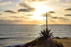 Εγκαταστάσεις αιώνα και πελεκάνος στο πάρκο απότομων βράχων ηλιοβασιλέματος στο Σαν Ντιέγκο, Καλιφόρνια Στοκ φωτογραφία με δικαίωμα ελεύθερης χρήσης