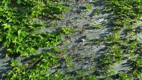Εγκαταστάσεις αναρριχητικών φυτών στον τοίχο Στοκ φωτογραφίες με δικαίωμα ελεύθερης χρήσης