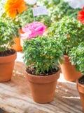 Εγκαταστάσεις βασιλικού με τα λουλούδια εγγράφου και ποιήματα που πωλούνται σε Άγιο Anthony Στοκ φωτογραφία με δικαίωμα ελεύθερης χρήσης