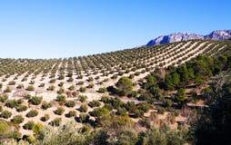 Εγκαταστάσεις ελιών στους τομείς στην Ανδαλουσία, Ισπανία Στοκ Φωτογραφία