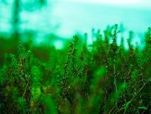 Εγκαταστάσεις η πράσινη Heather ν στοκ εικόνες με δικαίωμα ελεύθερης χρήσης