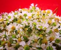 Εγκαταστάσεις θεραπείας chamomile στοκ φωτογραφίες