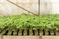 εγκαταστάσεις θερμοκηπίων, άρδευση σταλαγματιάς, καλλιέργεια θερμοκηπίων των ντοματών στο agricultu Στοκ Εικόνα
