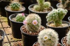 εγκαταστάσεις κάκτων στο δοχείο λουλουδιών Στοκ φωτογραφίες με δικαίωμα ελεύθερης χρήσης