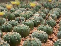 Εγκαταστάσεις κάκτων (Astrophytum) Στοκ εικόνες με δικαίωμα ελεύθερης χρήσης
