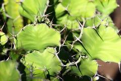 Εγκαταστάσεις κάκτων grandicornis ευφορβίας, ή αποκαλούμενο cowhorn στοκ φωτογραφίες