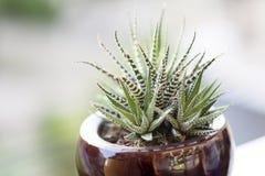 Εγκαταστάσεις κάκτων Haworthia succulents στοκ εικόνα