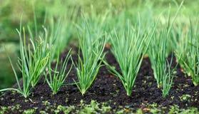 Εγκαταστάσεις κήπων άνοιξη - σκόρδο, κρεμμύδι το τόξο αυξάνεται στα κρεβάτια Στοκ Εικόνες