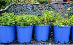 Εγκαταστάσεις κήπων στο μπλε δοχείο Στοκ Εικόνες
