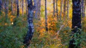 Εγκαταστάσεις και δέντρα σημύδων σε ένα θερινό δάσος κατά τη διάρκεια του ηλιοβασιλέματος σε σε αργή κίνηση 1920x1080 απόθεμα βίντεο