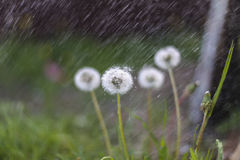 Εγκαταστάσεις και βροχή, ψεκασμός, πέτρα, πικραλίδα Στοκ εικόνες με δικαίωμα ελεύθερης χρήσης