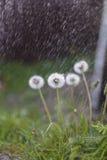 Εγκαταστάσεις και βροχή, ψεκασμός, πέτρα, πικραλίδα Στοκ φωτογραφία με δικαίωμα ελεύθερης χρήσης
