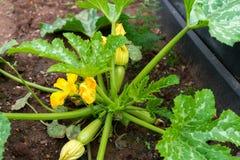 Εγκαταστάσεις και λουλούδι κολοκυθιών Πράσινη ανάπτυξη κολοκυθιών φυτικού κολοκυθιού στον κήπο στοκ εικόνα