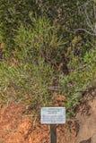 Εγκαταστάσεις καρυδιών κύστεων, whyteana Diospyros, στο Karoo στοκ εικόνα με δικαίωμα ελεύθερης χρήσης