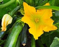 Εγκαταστάσεις κολοκυθιών Λουλούδι κολοκυθιών Πράσινη ανάπτυξη φυτικού κολοκυθιού Στοκ Φωτογραφία