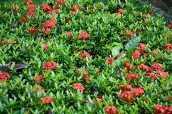 Εγκαταστάσεις κρεβατιών λουλουδιών των κόκκινων λουλουδιών ixora στοκ φωτογραφία