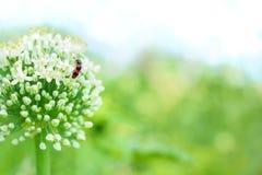 Εγκαταστάσεις κρεμμυδιών λουλουδιών με το παράσιτο Στοκ Φωτογραφία