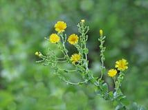 Εγκαταστάσεις λουλουδιών μαρουλιού Στοκ Εικόνες