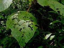 Εγκαταστάσεις με τη ζημία εντόμων φυτό τροπικό Ecoturismo, οικοτουρισμός στη Κόστα Ρίκα στοκ εικόνες