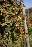 Εγκαταστάσεις μουσμουλιών (germanica Mespilus) Στοκ εικόνες με δικαίωμα ελεύθερης χρήσης