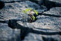 Εγκαταστάσεις νεαρών βλαστών που αυξάνονται στην πολύ ξηρά ραγισμένη γη Στοκ Φωτογραφία
