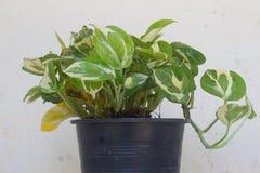 Εγκαταστάσεις οικογενειακού Araceae aureum Epipremnum στο δοχείο Στοκ Εικόνα