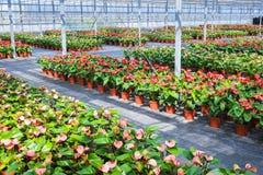 Εγκαταστάσεις λουλουδιών θερμοκηπίων Στοκ φωτογραφίες με δικαίωμα ελεύθερης χρήσης