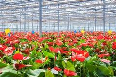 Εγκαταστάσεις λουλουδιών θερμοκηπίων Στοκ εικόνες με δικαίωμα ελεύθερης χρήσης
