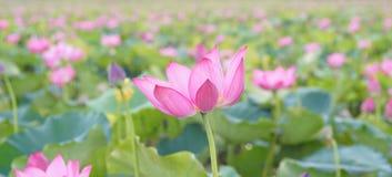 Εγκαταστάσεις λουλουδιών Lotus και λουλουδιών Lotus Στοκ εικόνα με δικαίωμα ελεύθερης χρήσης
