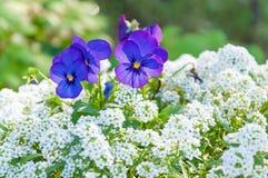 Εγκαταστάσεις λουλουδιών Pansy Στοκ Φωτογραφίες