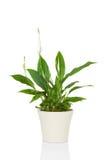 Εγκαταστάσεις λουλουδιών Spathiphyllum Στοκ εικόνα με δικαίωμα ελεύθερης χρήσης