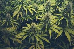 Εγκαταστάσεις οφθαλμών/μαριχουάνα καννάβεων στοκ εικόνα