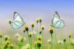 Εγκαταστάσεις πικραλίδων που ανθίζουν την άνοιξη και που στέκονται στην πεταλούδα στοκ εικόνες με δικαίωμα ελεύθερης χρήσης