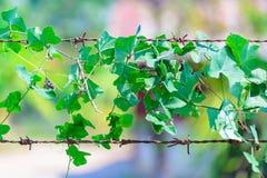Εγκαταστάσεις που τυλίγονται πράσινες σε οδοντωτό - καλώδιο, υπόβαθρο φύσης Στοκ φωτογραφία με δικαίωμα ελεύθερης χρήσης