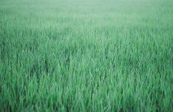 Εγκαταστάσεις ρυζιού στοκ φωτογραφίες