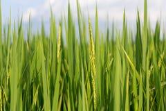 Εγκαταστάσεις ρυζιού Στοκ Εικόνα