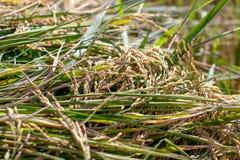 Εγκαταστάσεις ρυζιού Στοκ Εικόνες
