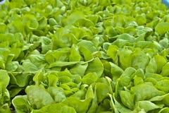 Εγκαταστάσεις σαλάτας μαρουλιού Butterhead, πράσινο οργανικό λαχανικό Στοκ φωτογραφία με δικαίωμα ελεύθερης χρήσης