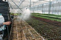 Εγκαταστάσεις σποράς ποτίσματος εργαζομένων κηπουρών στο σύγχρονο θερμοκήπιο στοκ εικόνες με δικαίωμα ελεύθερης χρήσης
